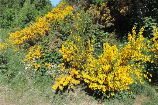 Gorse and other flowers were blooming in a colorful display
