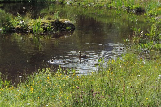 Ducklings-Playing-in-a-Pond-by-the-Car-Park