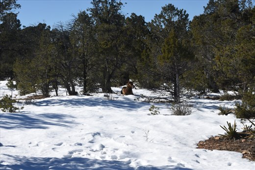 And there were MUCH bigger elk napping in the trees near the South Rim trail.
