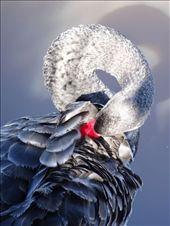Black Swan on Lake Burley Griffin: by tazau, Views[88]