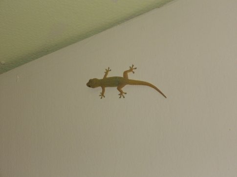 a gecko greeting in Trat