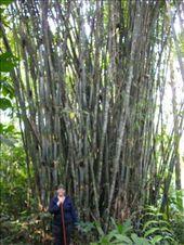 HUGE Bamboo: by teamgavigan, Views[261]