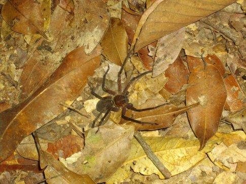 Huge crazy jungle spider