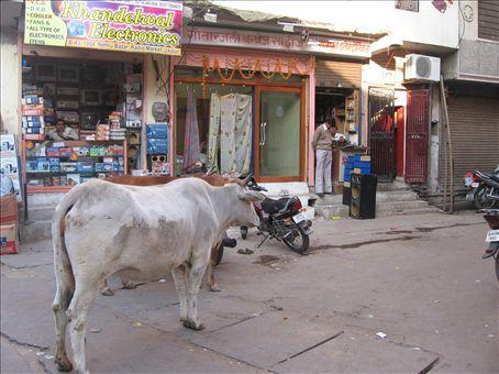Mucche al pascolo nei bazar di Jaipur