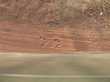Impronta di tigre nella riserva di Ronthembore