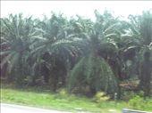 KL extensive palm plantations: by terrihorner, Views[195]