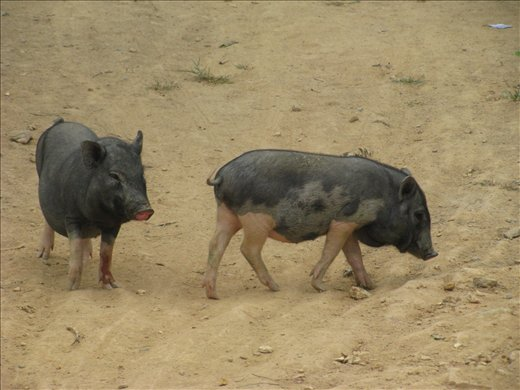 Piglets on the loose - village out of Dalat