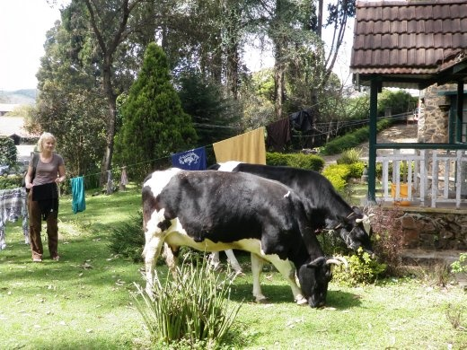We came home to find these naughty cows eating the bushes near our washing. One of them got poo all over my clean shirt.