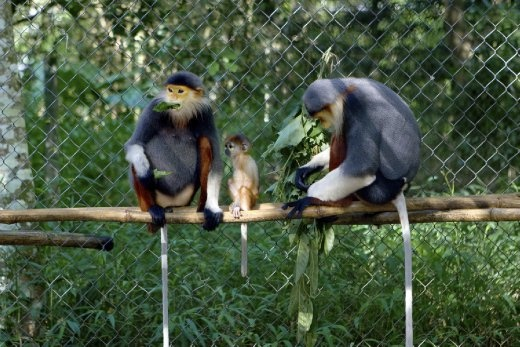 A couple of red-shanked douc langurs grown up in the Endangered Primate Rescue Center and had their next generation born here.