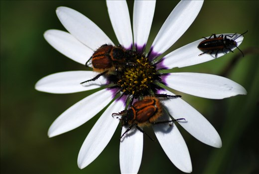 Beetles on a Daisy, Darling Renosterveld Reserve