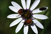 Beetles on a Daisy, Darling Renosterveld Reserve: by the_nomadic_ecologist, Views[90]