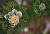 Serruria (Fynbos), Kirstenbosch Botanical Garden: by the_nomadic_ecologist, Views[92]
