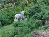 Little lambs!  So cute!: by the_nomads, Views[390]