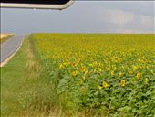Sunflowers by the road: by the_nomads, Views[320]