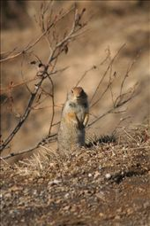 arctic ground squirrel: by thefuegoproject, Views[568]