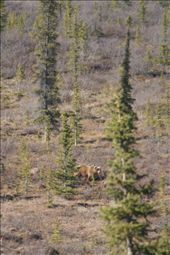 brown bear with cubs, Denali NP: by thefuegoproject, Views[578]