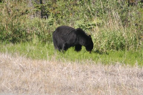 and then a black bear, Yukon Territory