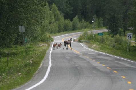 Moose with calves on the Haines Highway