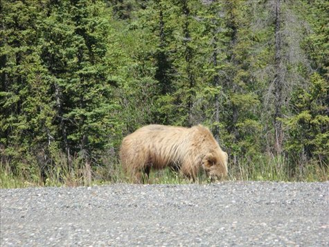 Riding past a young Grizzly Bear, Yukon Territory