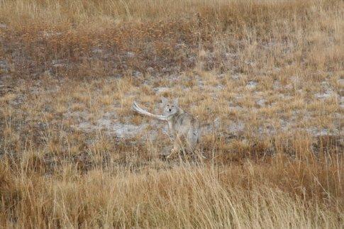 coyote, Yellowstone NP
