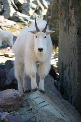 mountain goat on the sperry glacier trail