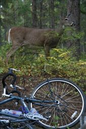 white tailed deer checking out Colin's bike: by thefuegoproject, Views[326]