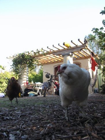 Pearl, our trustworthy egg supplier, with the casita in the background