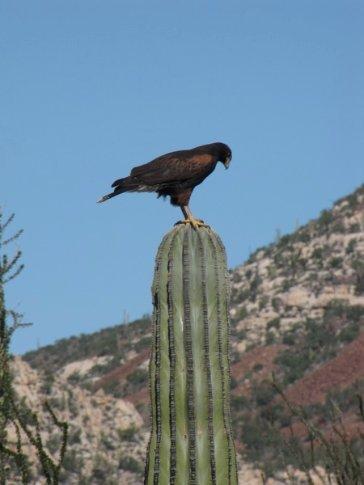 Harris hawk on Cardon cactus