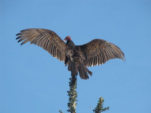 turkey vulture bathing in the morning sun