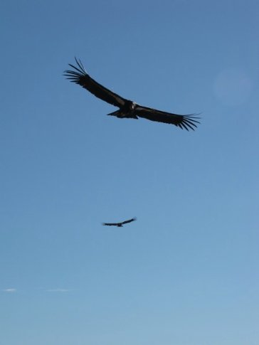 California Condors, Big Sur Coast