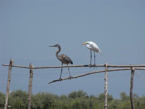 Blue heron and white egret near Mexcaltitan