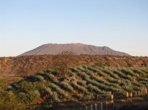 Blue agave, grown for Tequila, with a volcano in the background