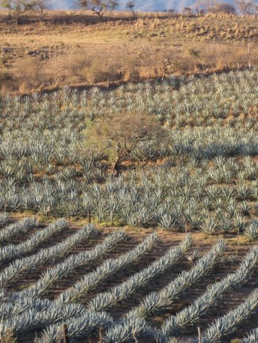 Agave near Tequila, Jalisco