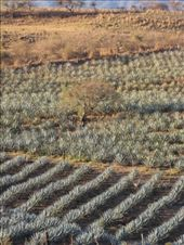 Agave near Tequila, Jalisco: by thefuegoproject, Views[405]
