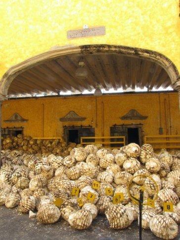 'Pinas' at Jose Cuervo tequila distillery