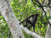 Spider monkey, Tikal: by thefuegoproject, Views[368]