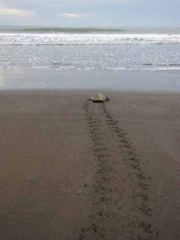 After the lay the turtle walks back to sea. Since the tide is going out, it takes her a long time to get to the waters. She rests about every 10 steps and sighs.