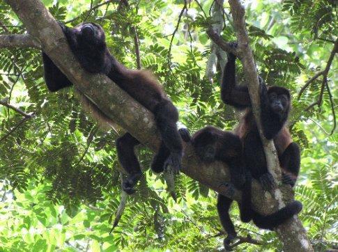 Howler monkeys near Samara