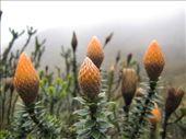 chuquiraga jussieui, asteraceae; flor de montaña: by thefuegoproject, Views[1007]