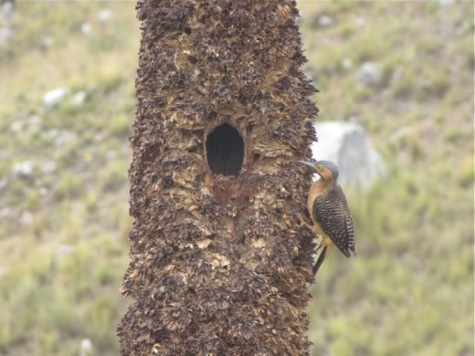 woodpecker next to his nest in a Puya stalk