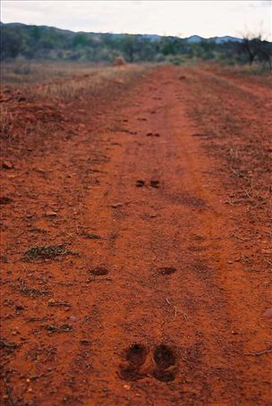 roo tracks in the red earth