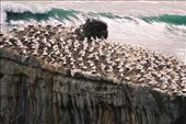 gannet nursery at muriwai 2: by thefuegoproject, Views[465]
