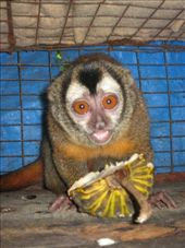 One of the night monkeys enjoys eating the custard apple I have just brought to the cage.: by thehappyeggs, Views[663]