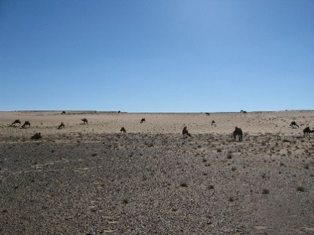 Camels at Our Campsite