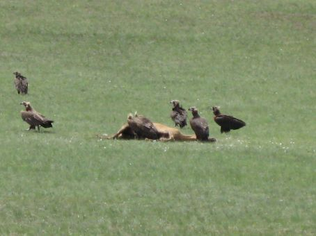 Vultures eating a horse...poor horse.
