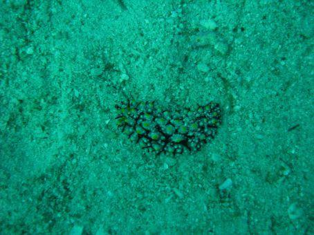 a varicose sea slug