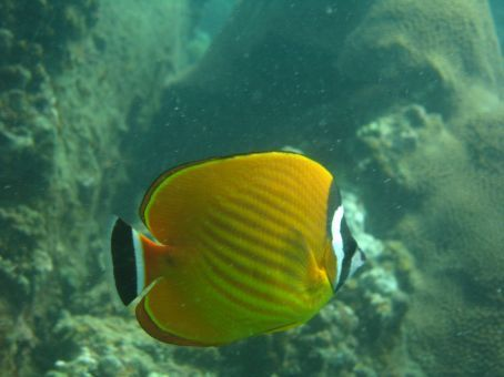 A butterfly fish, we think.