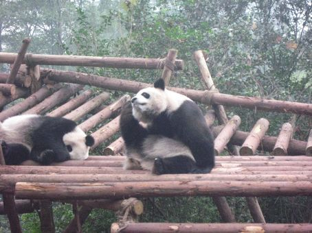 Pandas at the Chengdu Panda Sanctuary and Breeding Facility