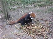 Red Panda: by thestunnings, Views[277]