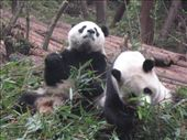 Pandas: by thestunnings, Views[229]